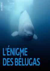 L'énigme des belugas